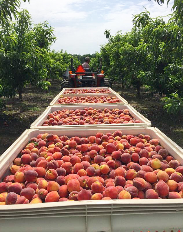 tractor harvesting peaches at Genuine Georgia